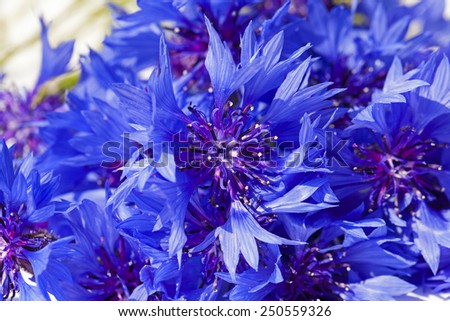 the cornflower of blue color photographed by a close up - stock photo