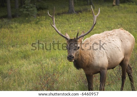 The elk is grazed on a marge of a wood in reserve
