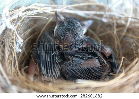 (the growth of birds feather and wings  between 5th-6th day) newborn bird, black bird nestling in the nest and feather wings growth story of new born of bulbul bird which see in Thailand