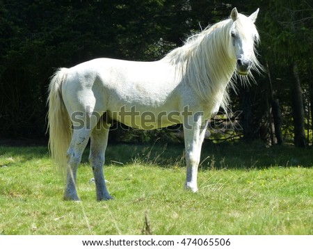 The Lipizzan or Lipizzaner is a breed of horse closely associated with the Spanish Riding School of Vienna, Austria.