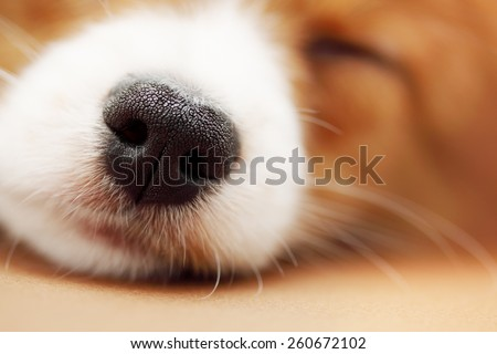 The nose of the dog that is sleeping, close-up - stock photo