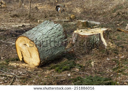 the old cut-down  trees. close up, small depth of sharpness - stock photo