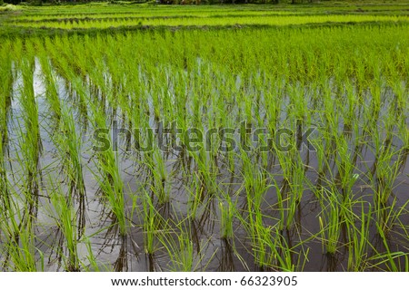 the paddy field - stock photo