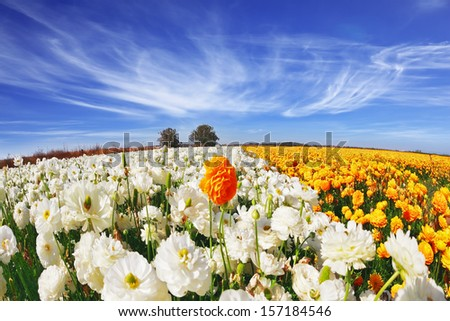 The picture was taken Fisheye lens. Huge fields of blossoming garden buttercups (Ranunculus asiaticus).  The wonderful spring weather, light cirrus clouds flying across a blue sky - stock photo
