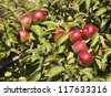 the red ripe apples being on an apple-tree - stock photo