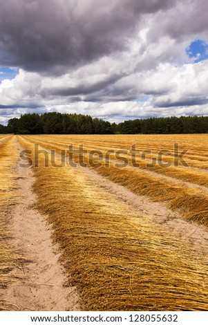the ripened flax put in ranks, after last harvest company - stock photo
