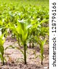 the small sprouts of corn growing on an agricultural field. focus on the foreground - stock photo