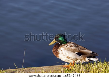 the wild duck who is at the lake. the duck sits on a stone plate - stock photo