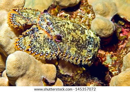 This Sculptured slipper lobster was  shot during a night dive off of Big Island, Hawaii. The are bristly hairs around the edge of its body and its antennae and carapace have a cobblestone texture. - stock photo