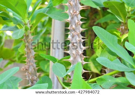 Thorns of Euphorbia milli