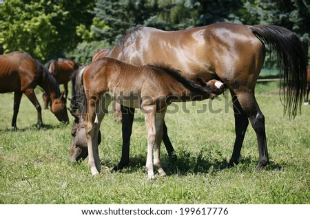 Thoroughbred mare and foal breastfeeding in the field. Breastfeeding colt in summertime pasture  Foal with a mare on a summer pasture.Mare and her foal in meadow - stock photo