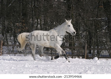 Thoroughbred white horse galloping in winter corral - stock photo