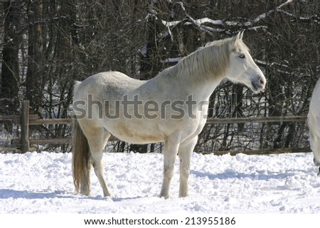 Thoroughbred white horse standing alone in winter corral - stock photo