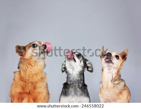 three chihuahuas licking their noses isolate on a gray background   - stock photo