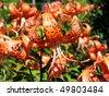 Tiger lily - Lilium lancifolium, Michigan lily (Lilium michiganense) - stock photo