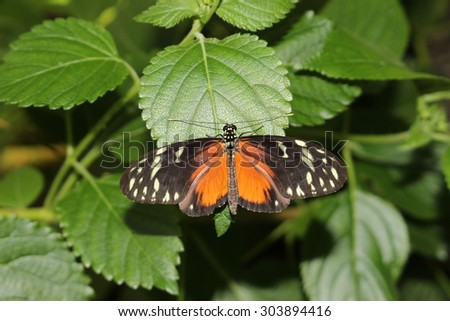 """""""Tiger Longwing"""" butterfly (or Hecale Longwing, Golden Longwing, Golden Heliconian) in Innsbruck, Austria. Heliconius Hecale, native to Mexico, Peru and Costa Rica. (No Photoshop) - stock photo"""