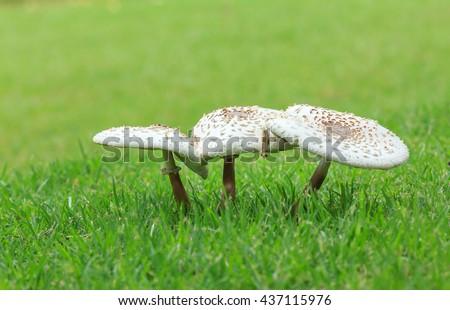 toadstools in the grass green. mushroom photo, amanita mushroom, mushroom amanita, fungus photo, poison mushroom, fly agaric mushroom, fly agaric photo, forest photo, forest .forest mushroom photo - stock photo