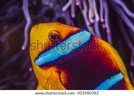 tomato clownfish,Amphiprion frenatus is a species of marine fish in the family Pomacentridae - stock photo