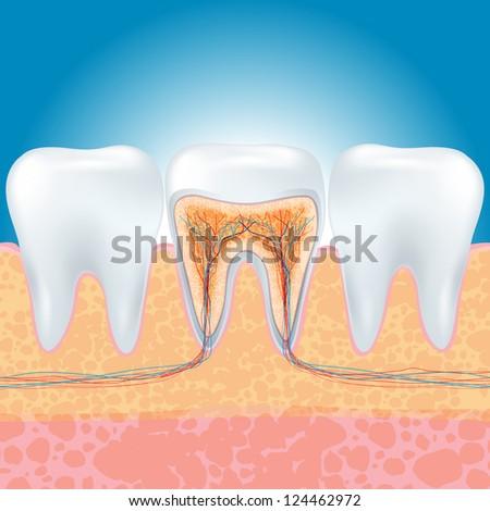 Tooth Anatomy - stock photo