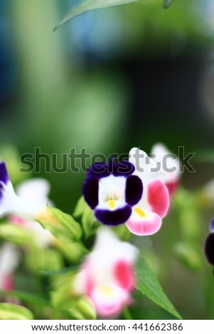 Torenia or Wishbone flowers in the garden or nature park vintage in-Thailand.