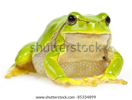 tree frog sitting - isolated on white background - stock photo