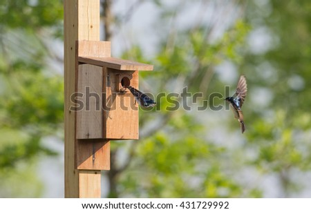 2 Tree swallows at bird house in Virginia.  Departing and approaching box. - stock photo