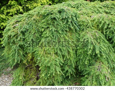 Tsuga canadensis, also known as eastern hemlock, eastern hemlock-spruce,,Canadian hemlock.