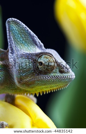 Tulip and Chameleon - stock photo