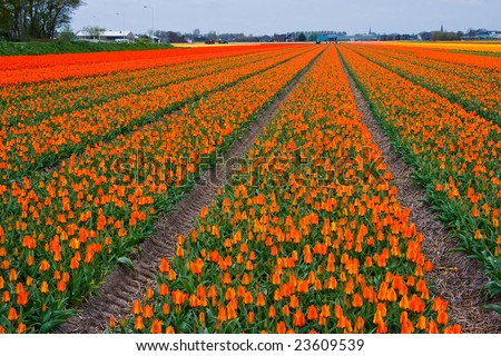 """Tulip fields"" in many colors reaching to the horizon"