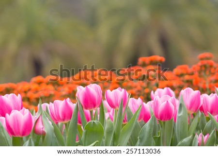 Tulip in a tulip field , selective focus with focus on an individual tulip   - stock photo