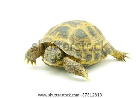 turtle isolated on white - stock photo
