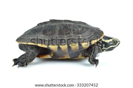 turtle on white background. - stock photo