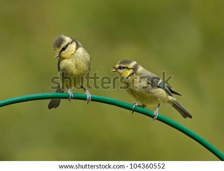 Two baby Blue Tits on a curved perch  (Cyanistes caeruleus) - stock photo