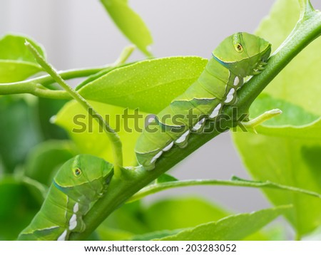 Two green caterpillars of the branch of the lime - stock photo