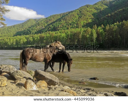Two horses stand in a mountain river and drink the water. River Katun, Altai Mountains. Russia.