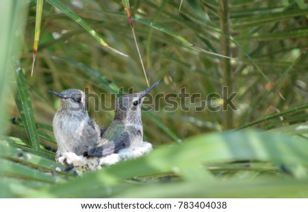 Two hummingbird babies sit in the nest