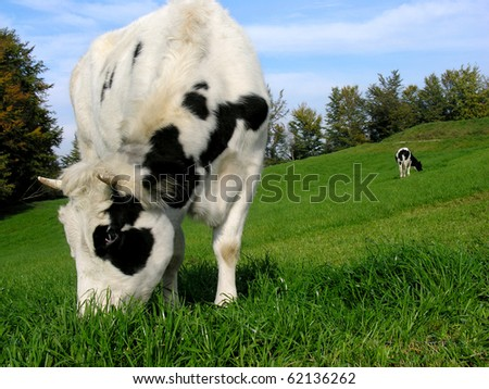 Two  jersey cows in a spring field. - stock photo
