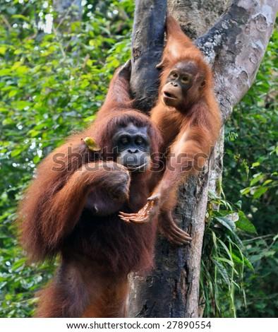 two orangutan in sarawak - stock photo