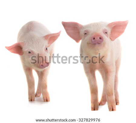 two  pig on a white background. studio - stock photo