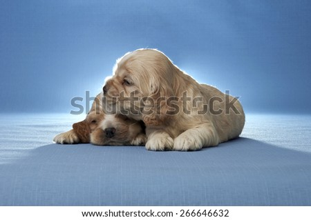 Two puppies of American cocker spaniel on a blue background. Two weeks old.  - stock photo