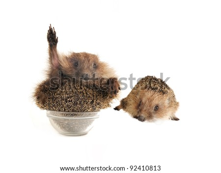 two standing hedgehog on a white background - stock photo