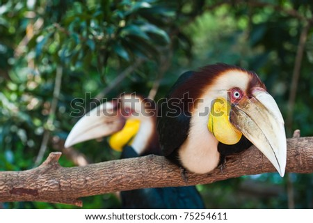 Two Wreathed Hornbill - stock photo
