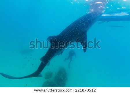 Underwater shoot of a gigantic whale sharks ( Rhincodon typus) feeding plankton on the surface of the water. The diver in the background.These sharks have no teeth and are filter feeders. - stock photo