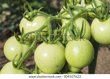 Unripe green tomato on bushes. Ripening vegetables in a home garden. Drops of water after rain on tomato fruit. Blurred background. - stock photo