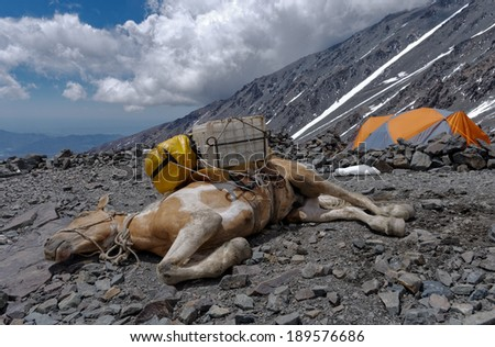 Vallecitos provincial park, Mendoza, Argentina. Exhausted Cargo Mule. Mules are used for transport the climber's equipment to remote areas  - stock photo