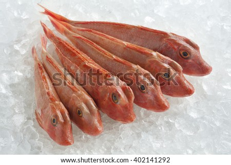 Variety of fresh raw red gurnards fishes on ice - stock photo