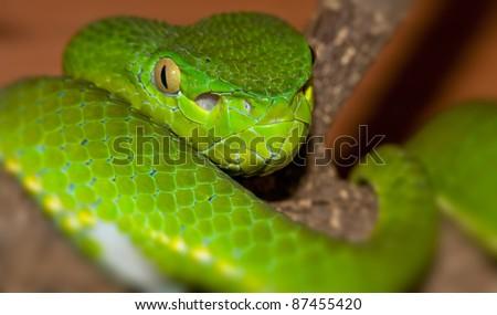 Venomous green viper close-up portrait - stock photo