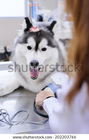 veterinarian examining cute siberian husky at hospital