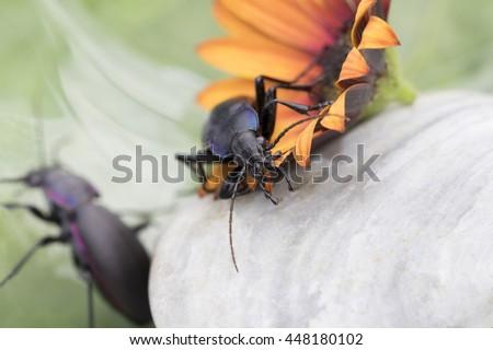 Violet ground beetle-Carabus Violaceus  - stock photo