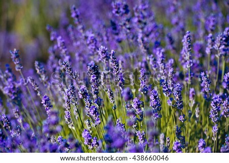 Violet lavender field in Provence - stock photo